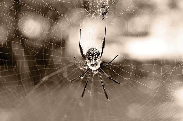 Sepia photograph of a golden orb spider on it's web. Great choice for Halloween. Adorn the walls in your home, from the bedrooms, dining room, lounge and study...or to spice up your office, waiting rooms and/or reception areas. 'Bottoms-up 3'  Prints available here -> http://leana-de-villiers.artistwebsites.com/featured/bottoms-up-3-leana-de-villiers.html