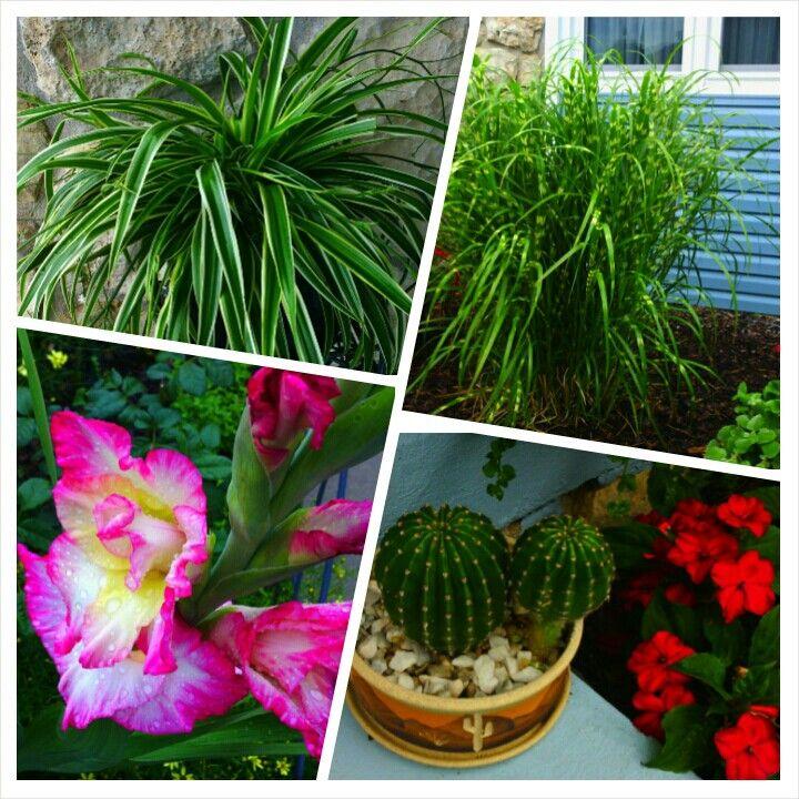 Spider plant, Zebra Grass, Gladiolus, cactus