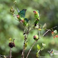 Rose-faced Parrots by Murray Cooper