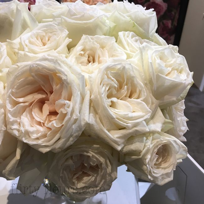 white ohara garden roses by alexandra farms