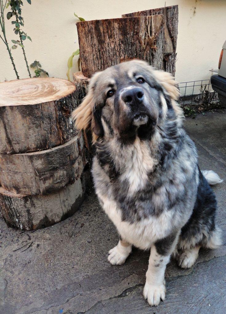 Asha the Caucasian Shepherd Dog