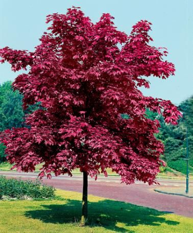 Norway Maple 'Crimson King' The Norway Maple (Acer Platanoides) 'Crimson King' is simply gorgeous. The beautiful purplish-red leaves of this majestic tree are of unparalleled beauty. The leaves turn to a wonderful golden-yellow colour in autumn. Height supplied: 80-100 cm.