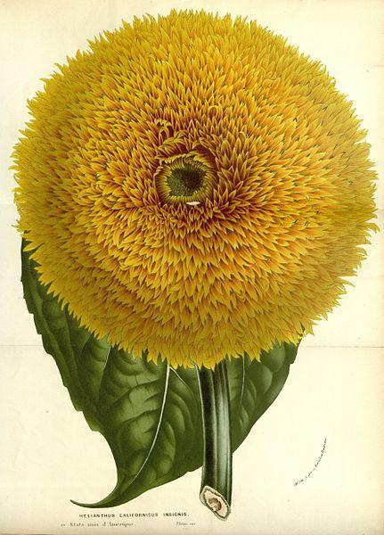 Helianthus Californicus Insignis taken from Flore des serres et des jardins de l'Europe (1862-1865).  Louis van Houtte (1810–1876)   Scan of original book from Botanicus.  Wikimedia