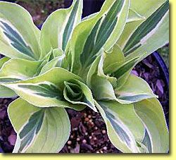 Yellow Polka Dot Bikini Hosta ..these are good if u are just starting to garden...can`t kill these....and come back every year...plant in a shady spot!!