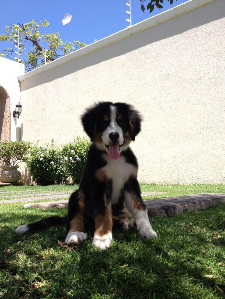 Favorite dog! Bernesse