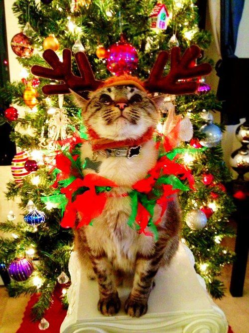Christmas Kitty.... and he seems very happy about it!                                                                                                                                                                                 More
