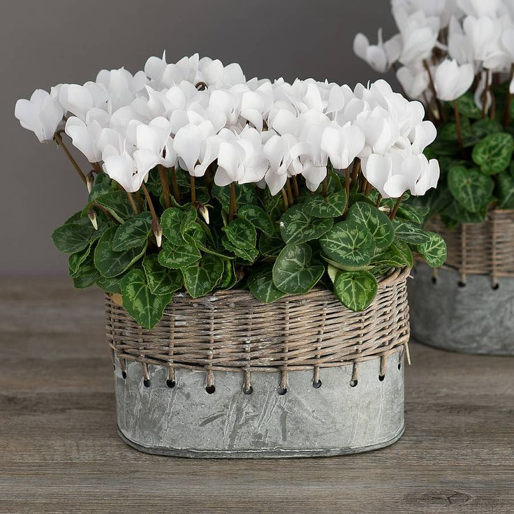 winter white cyclamen vintage style planter by the flower studio…