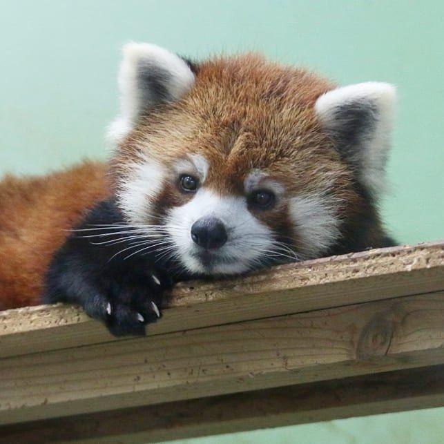 おじいちゃん風太の誕生祭で目の前の賑わいが気になるまったりメイタ今日の式典はもっと賑やかそうですね 千葉市動物公園 千葉市 動物園 Zoo 動物 Animal レッサーパンダ Redpanda Red Panda Images Red Panda Cute Cute Animal Pictures