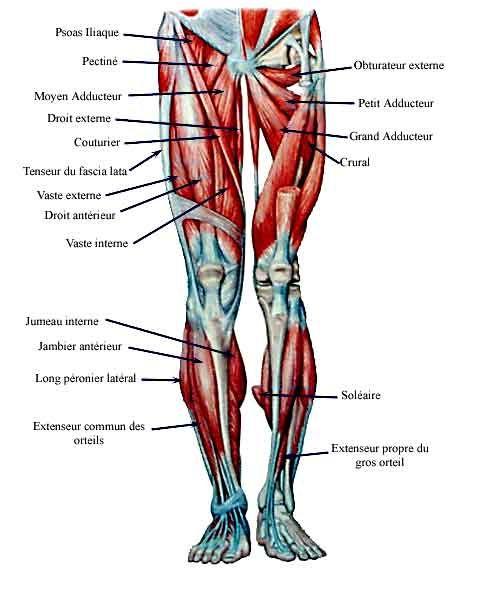muscles de la jambe
