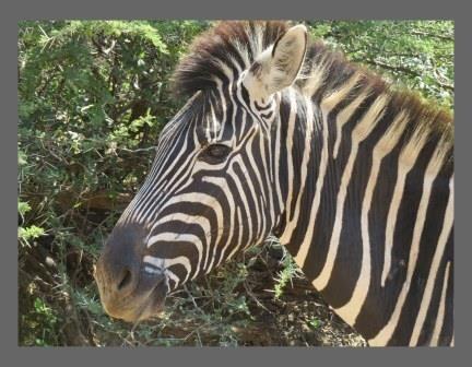 A1 Canvas Print ( The Zebra ) ( Print Only )