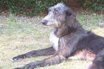 sottish deerhound phot | Scottish Deerhound Information and Pictures, Scottish Deerhounds ...