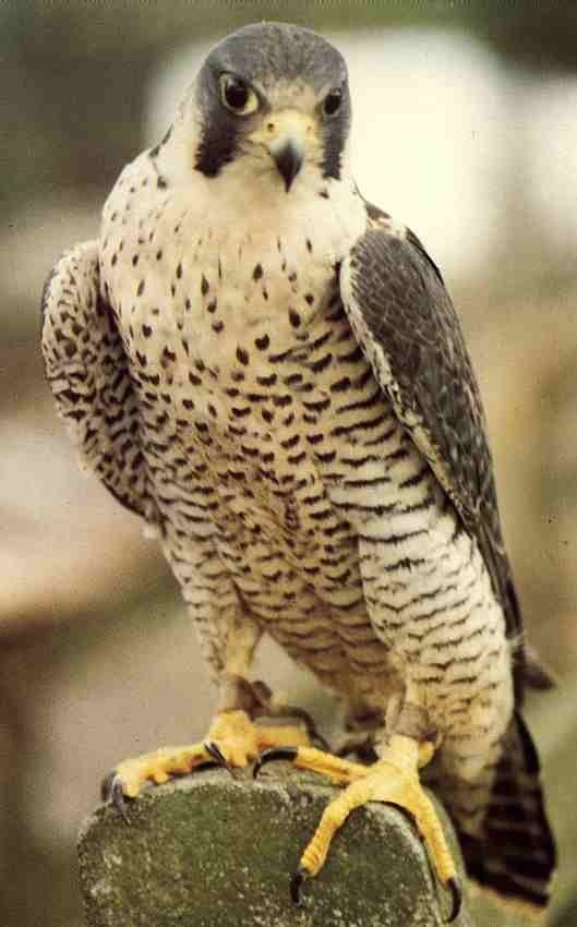 Peregrine falcon.. Successfully brought back from the brink of extinction and living here in good ole Kokomo Indiana!