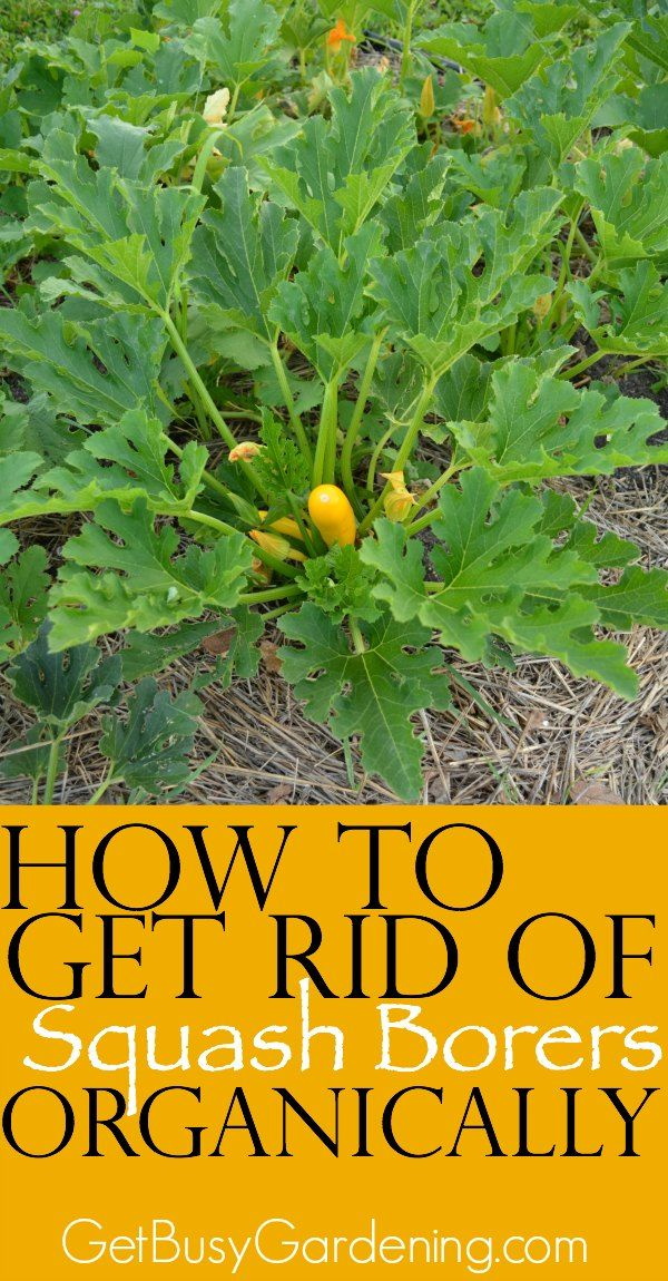 Squash borers might be the #1 cause of death for squash plants in the garden & they sure are annoying! Learn the signs of squash borers in your garden & get tips for how to get rid of them organically. How to you control squash borers in your garden?   GetBusyGardening.com