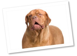 "The Dogue de Bordeaux can be recognized as the famous Hooch from the movie ""Turner & Hooch"". These calm companions are very sociable and gentle. They prefer plenty of daily exercise and need only minimal grooming.French Mastiff, Daily Exercise, Dogs Originals, Dogs Breeds, Dogue, Bordeaux, Preferences Plenty, Wars Dogs, Guard Dogs"