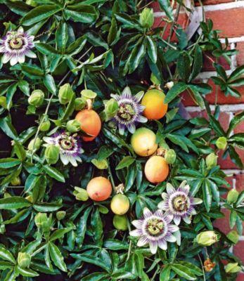 Maracuja-Pflanze Passiflora edulis Passionsblume Passionsfrucht