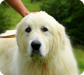 5/30/14 Glastonbury, CT - Great Pyrenees. Meet Joe, a dog for adoption. http://www.adoptapet.com/pet/10871141-glastonbury-connecticut-great-pyrenees