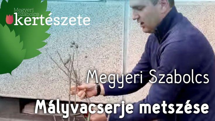 Mályvacserje (Hibiscus syriacus) metszése - Megyeri Szabolcs Kertészet