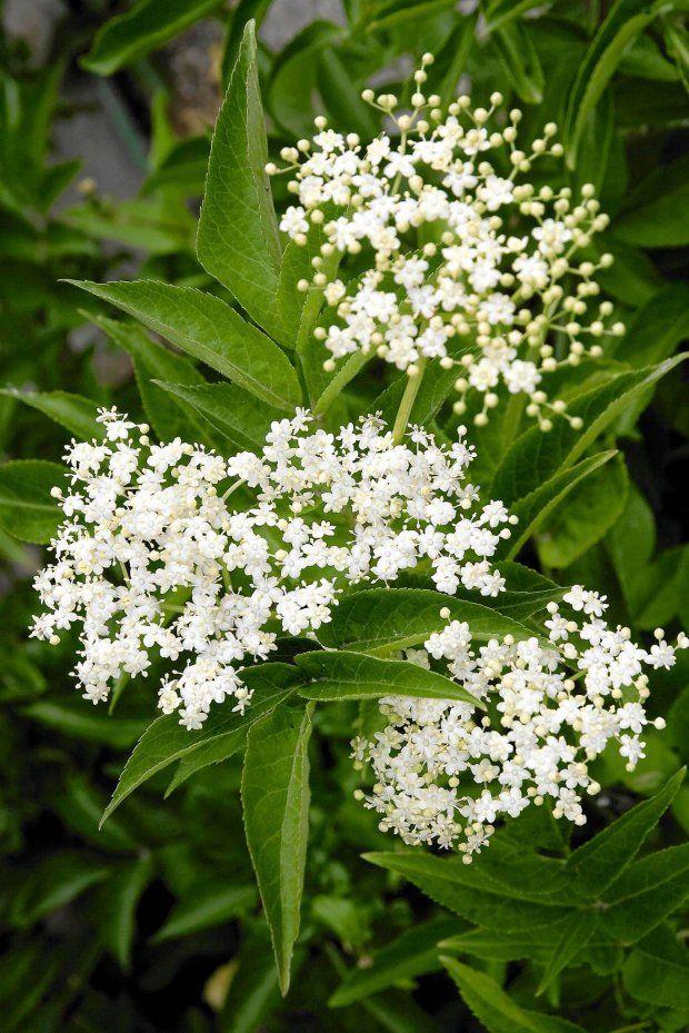 Wyciag I Gnojowka Z Bzu Czarnegowyciag Z Czarnego Bzusposob Uzycia 1 Kg Swiezych Lub 200 G Suszonych Lisci I Kwiatow Bzu Moczyc W 10 Plants Love Garden Garden