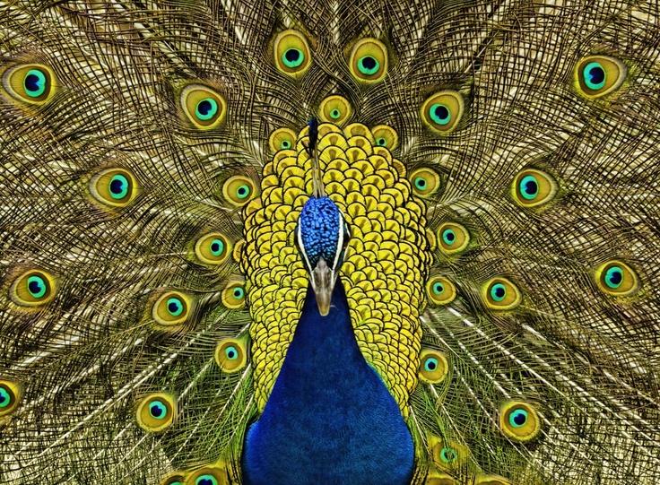 Nothing says Sri Lanka like a peacock
