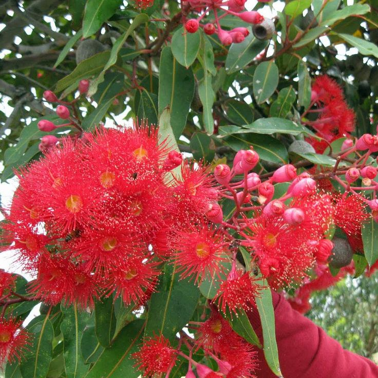 Native to the south of Western Australia the red flowering gum is one of the most widely cultivated of all eucalypts both in Australia and overseas. Description from australianseed.com. I searched for this on bing.com/images