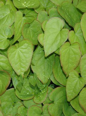 BISPELUE - Epimedium spp.