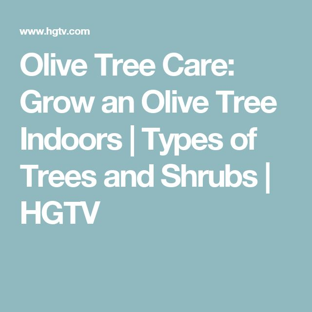 Olive Tree Care: Grow an Olive Tree Indoors | Types of Trees and Shrubs | HGTV