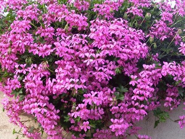 pelargonium-balcon.decora-lila.gif   Colour - Lila   Pinterest