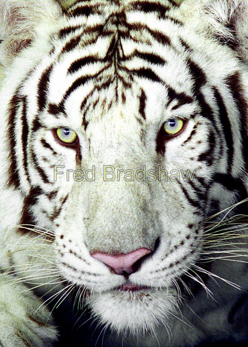 The snow tiger has been on the endangered animals list