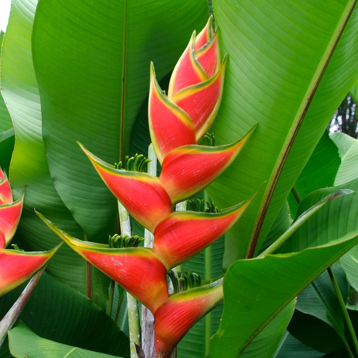 Heliconia derived from the greek word helikonios is a genus of about 100 to 200 species of - Flowers native to greece a sea of color ...