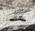 Wyoming State Reptile: Horned Toad