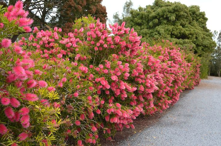 Callistemon 'Perth Pink'******.Creating a hedge with Australian plants ******