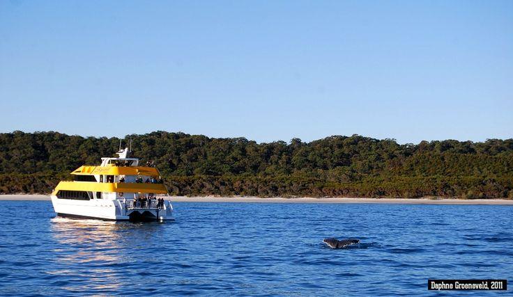 Whale watching in Hervey Bay, Australia   via It's Travel O'Clock