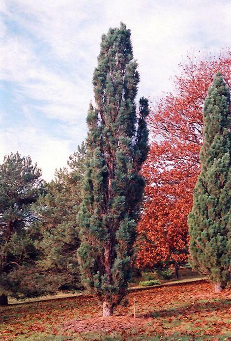 Scotch Sentinel Pine (Pinus sylvestris 'Fastigiata') at Connon Nurseries CBV