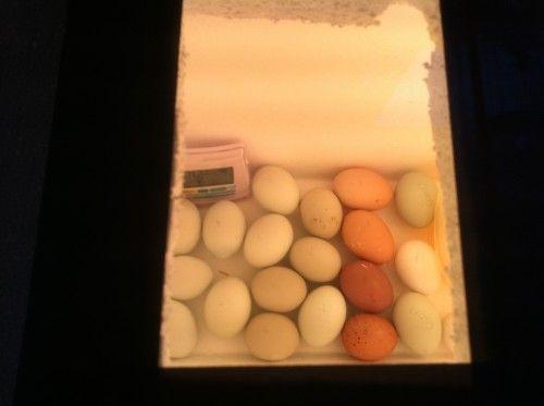 homemade egg incubator instructions