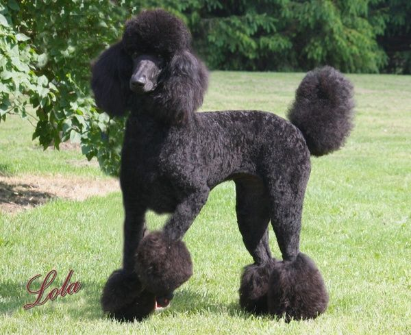 black standard poodle | Poodle Cuts, Clips, & Styles ...