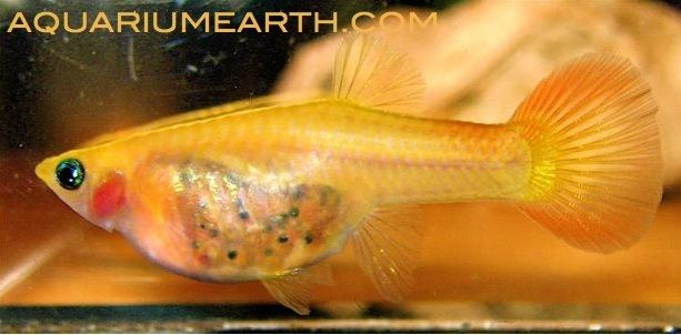 Female glass belly guppy look at all the tiny babies for Pregnancy fish chart