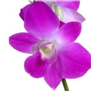 Grace Pink Dendrobium Orchid Flower Cut Flowers
