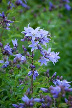 Campanula lactifolia 'Prichards Variety'    I was brought up on this plant - Campanula lactifolia - a big, bushy bellflower for the back of a border and excellent for those of us who love large natural-looking flower arrangements.
