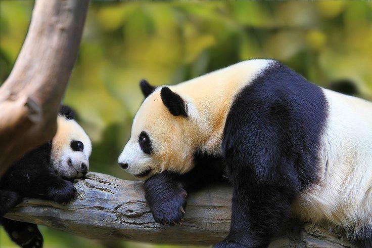 beautiful pandas :): Baby Pandas,  Pandas Bears, Animal Iii, Bears Pandas, Pandas Mothers, Mothers Nature, Giants Pandas,  Coon Bears, Animal Animal