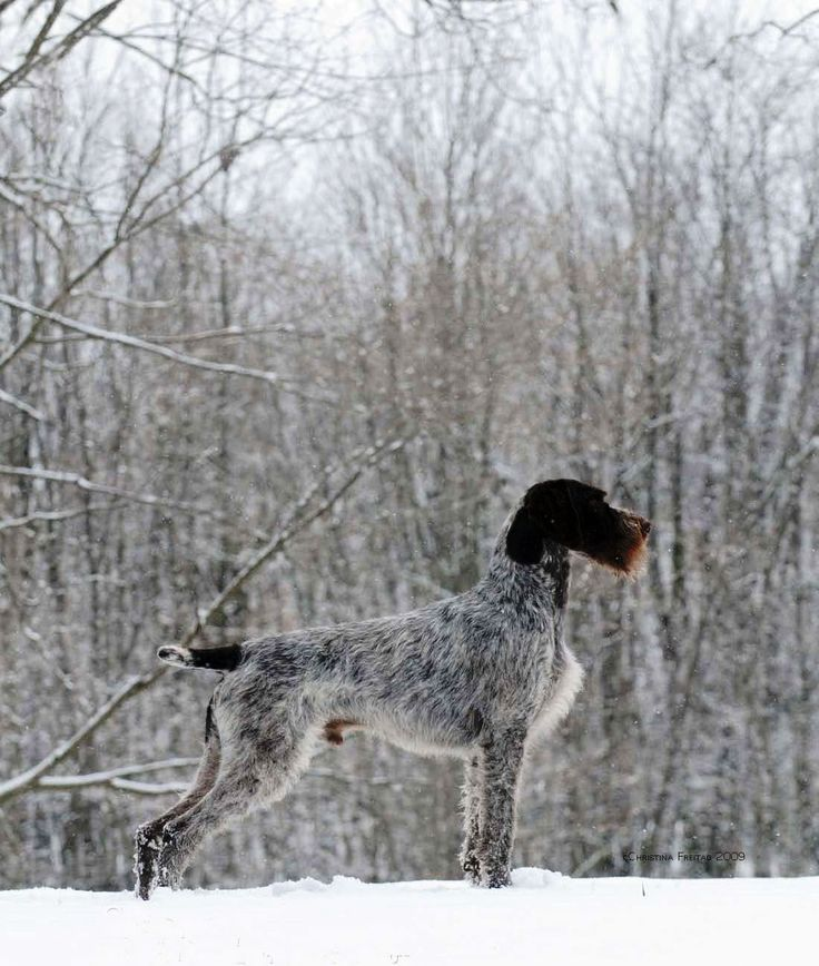If I ever start to hunt, German Pointer could be my first choice for the dog.
