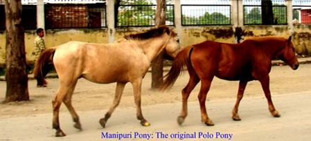 Manipuri Pony comes from Manipur, India. It's an old breed, thousands of years old even if its ancestry is not very well-known. Probably their ancestors are the Mongolian and Tibetan ponies but also some Arabian crossings have been made. Manipuris are the original polo ponies. Manipur is quite small, some 110-132 cm at withers and it's fairly lightly-built, even elegant. Usually they're bays and chestnuts, but also other colors, such as tobiano, gray, and perhaps palomino, may occur.