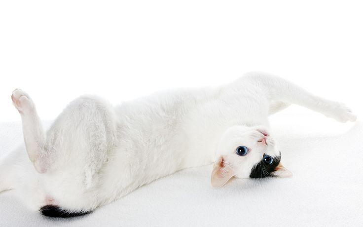 I gatti strani più particolari e unici del pianeta. Dall'American Curl allo Sphynx passando per il Bengala e il Japanese Bobtail.