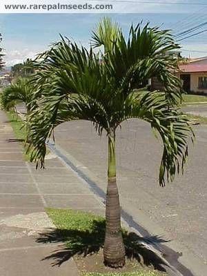 Tipos de palmas re a que palmera pertenece palmeras - Palmeras pequenas para jardin ...