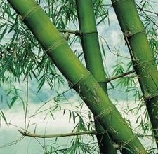Bamboo: Gardens Ideas, Gorgeous Pin, Bamboo Plants, Bamboo Crafts, Big Bamboo, Bambus Japon, How To Dry Bamboo, Heart Bamboo, Bamboo Thumbnail