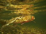 Wyoming State Fish: Cutthroat Trout