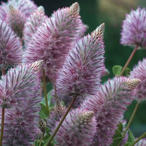 Ptilotus Joey - Australian native shrub for dry conditions full sun. will tolerate mild frost