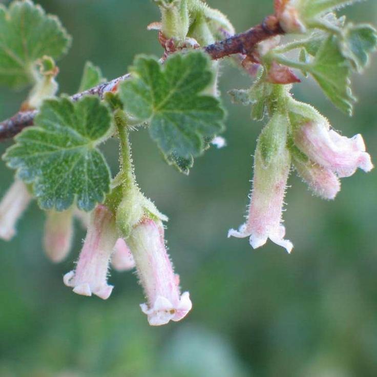 105 best images about native plants  okanagan  on pinterest