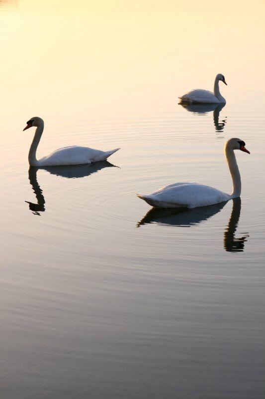 zen swan