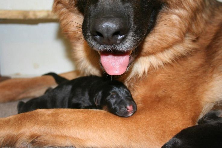 Reviews Mittelwest German Shepherd Dogs