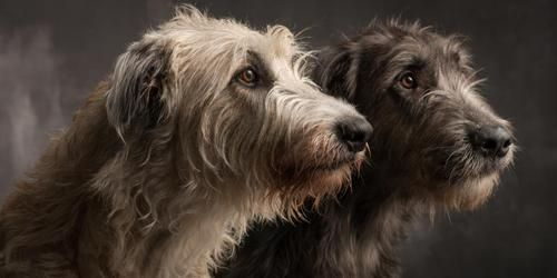 I LOVE Irish Wolfhounds. They're eye are so soulful. <3 . . Irish wolfhounds. Photographer:  Paul Croes